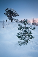 Snow covered Scots Pine