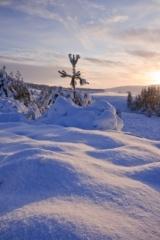 Dava Pine Tree buried in snow